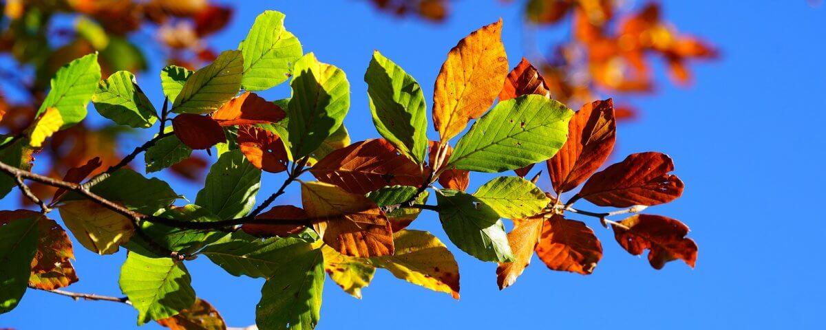 Buchenblätter Herbst